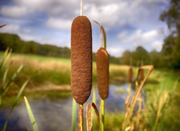 Cattails in the pond – good or bad?