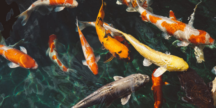 How many fish can I have in my pond
