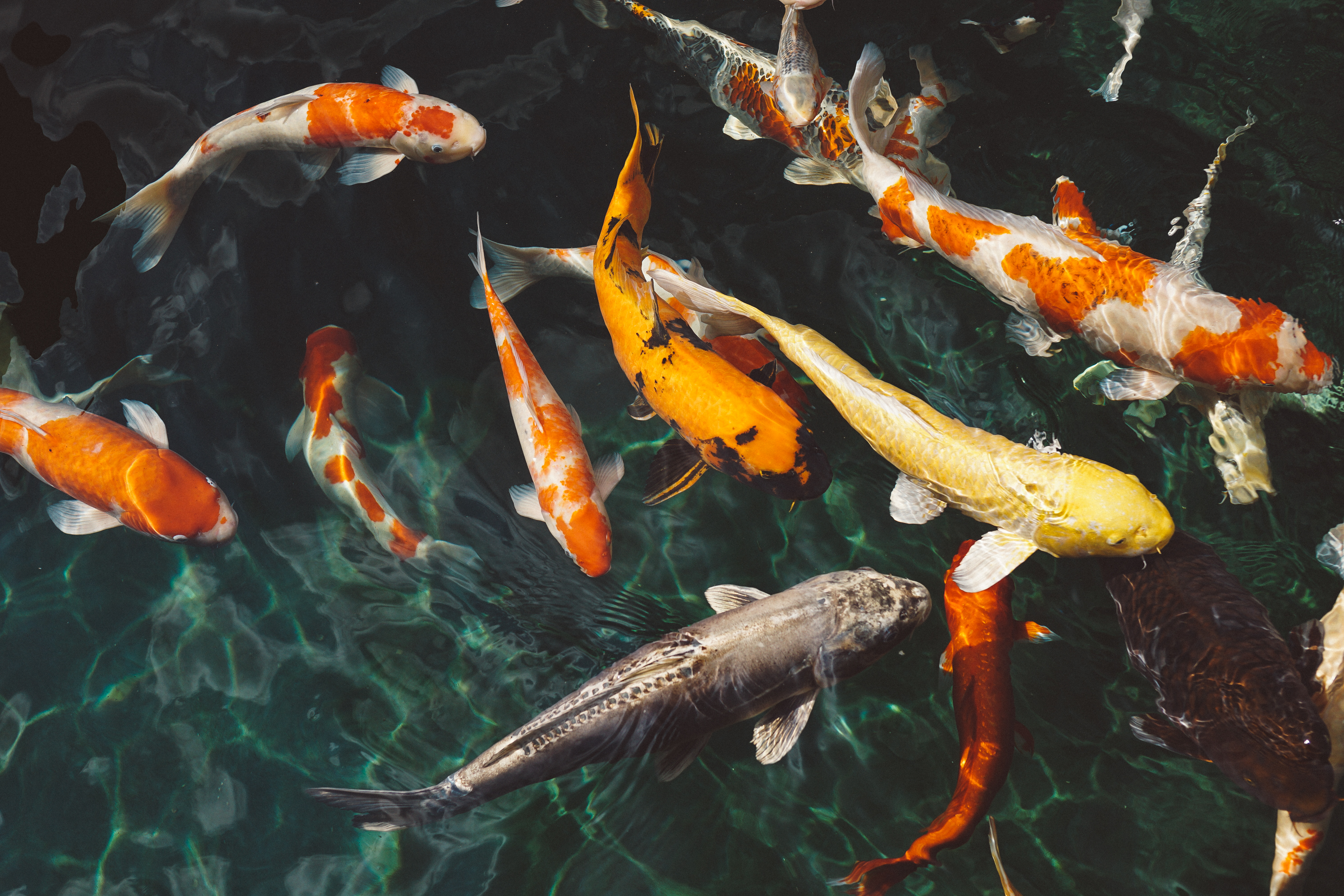 How Many Fish Can I Have In My Pond?   Koi Or Goldfish, Chart To Look Up.