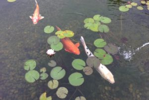 Pond fish care for Koi pond basics