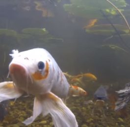 Transferring fish