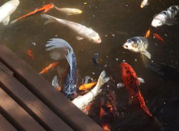 When can I start feeding my  fish?