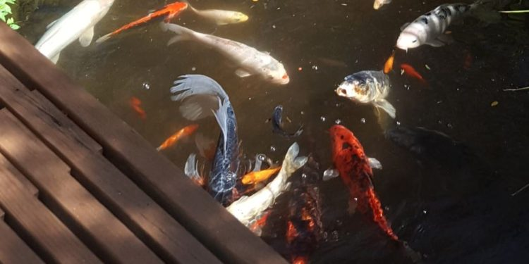 When can I start feeding the fish?