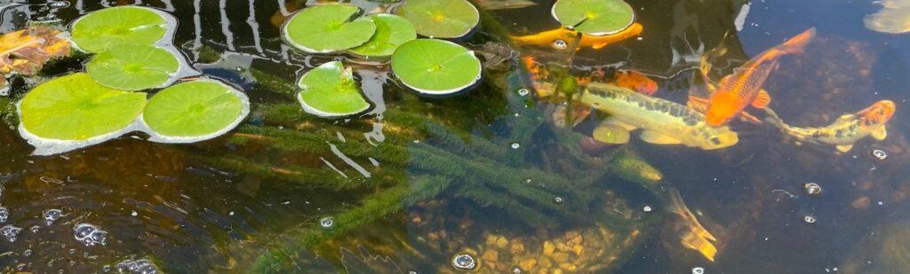 koi pond algae on lily pad stems
