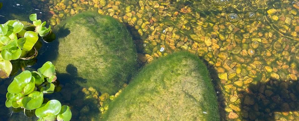 Koi pond algae