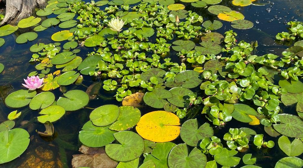 Hyacinth Reproduction