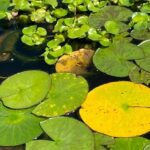 yellow lily pads