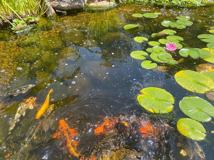 Will ash hurt my pond?